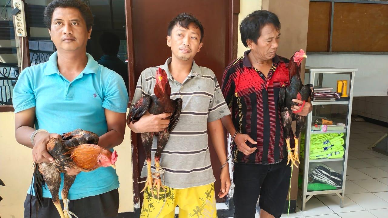 Grebek Sabung Ayam, Unit Reskrim Polsek Kenjeran Amankan 3 Orang